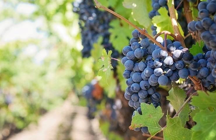 Raccolto uva